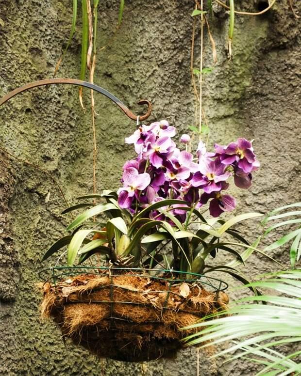 Ароматный фаленопсис лиодоро. как ухаживать за револьверной орхидеей?