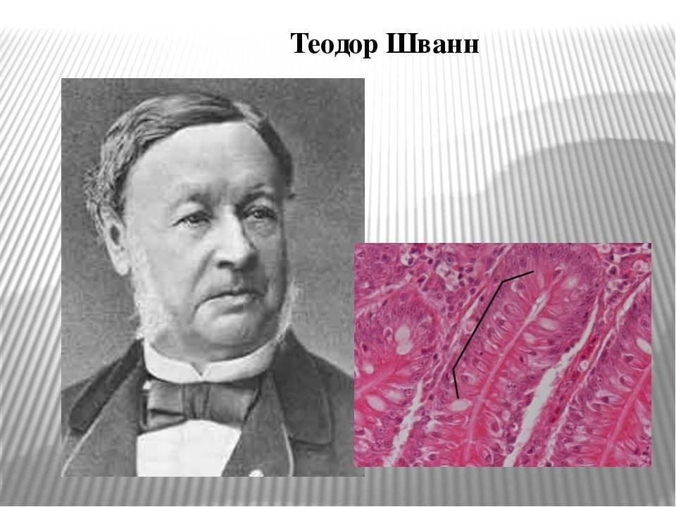 Шлейден и шванн - первые каменщики клеточной теории