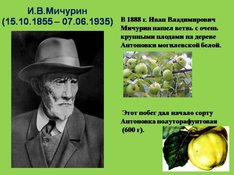 165 лет со дня рождения ивана мичурина: во время неудач он отрывался от любимого растительного мира и чинил часы и фотоаппараты